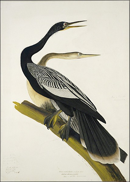 Black_Bellied_Darter_Audubon_1822