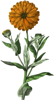 Botanical-Marigold-Image-GraphicsFairy.jpg