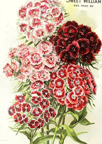 SeedAnnual1908SweetWilliam.jpg